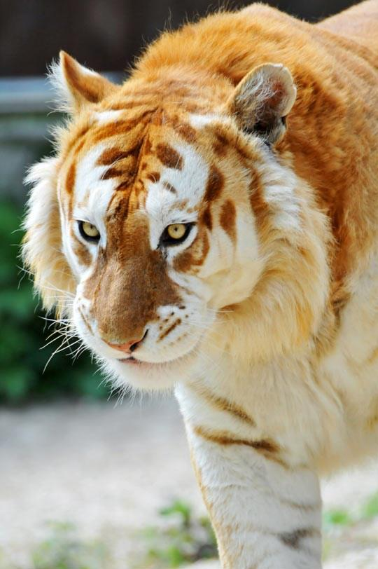 The rare Golden Tiger