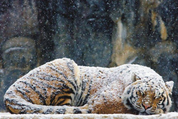 Tiger In The Snow1