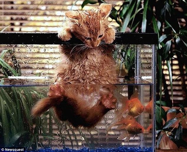 Kitty In Fish Tank1