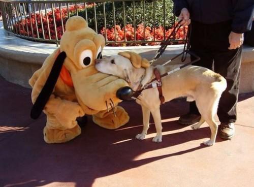 A guide dog meets a friend at Disney World