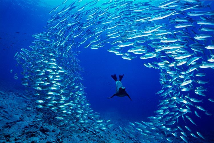 Seal Swimming1