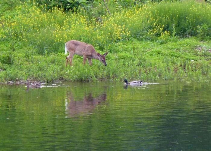 Deer and Duck1