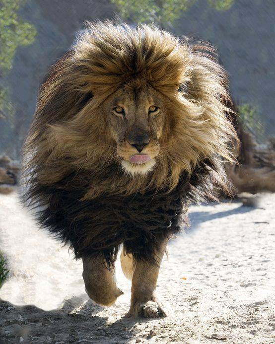 Trotting Lion