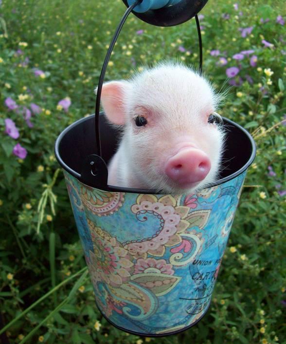 Adorable Little Piggy