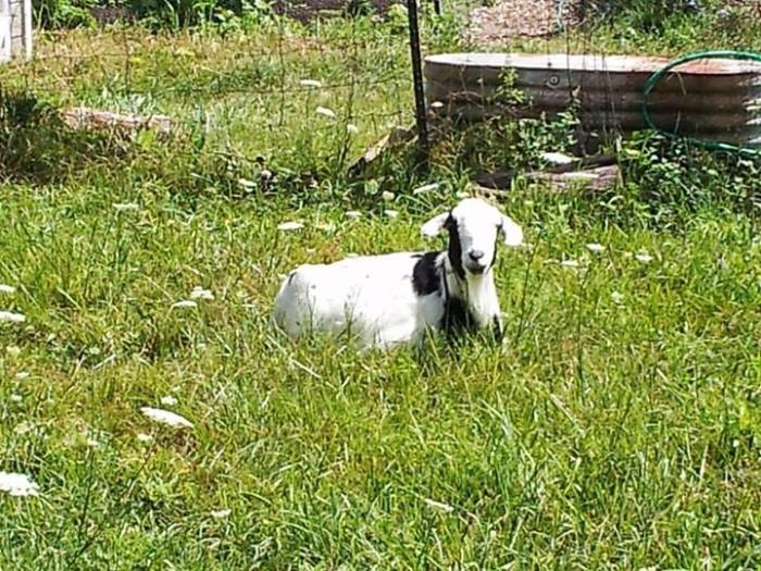 Ferdinand the Goat