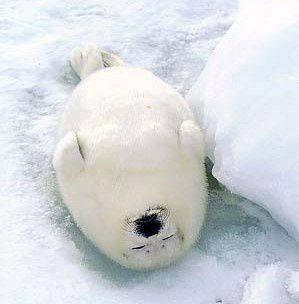 Sleeping Seal2