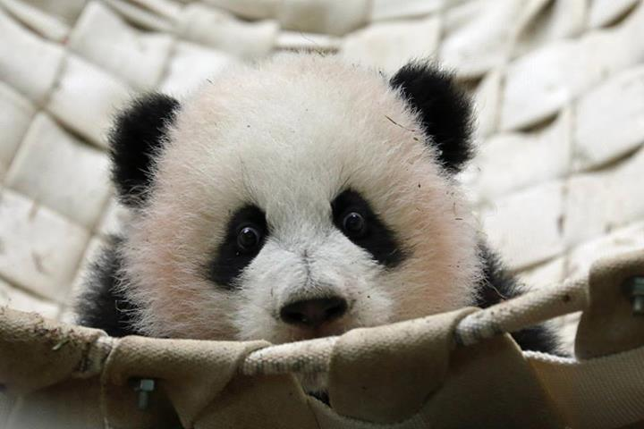 Baby Panda4