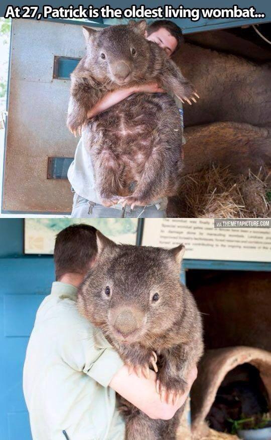Patrick The Friendly Wombat