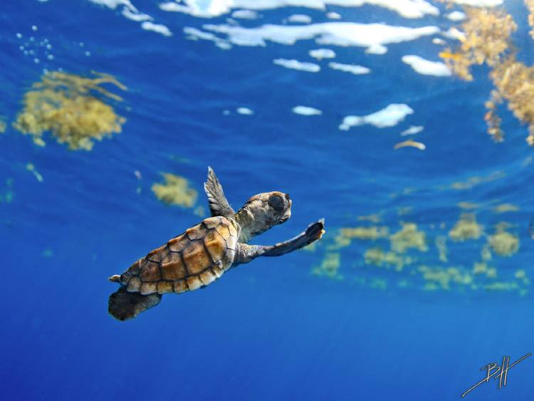 Baby Turtle Swimming 1