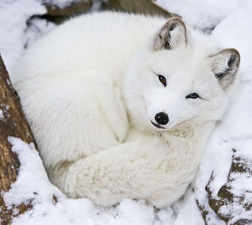 Beautiful Fox 1