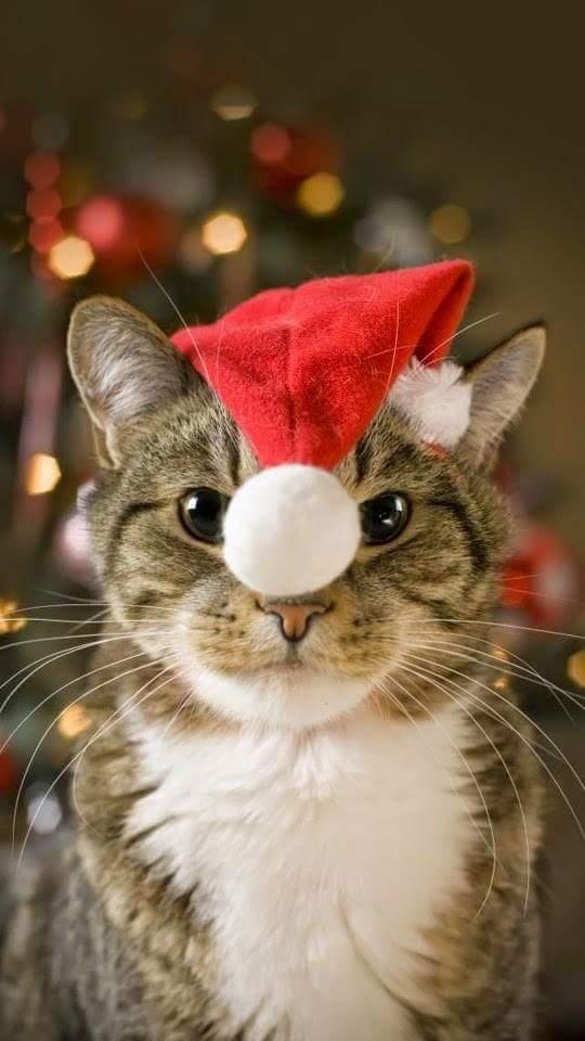 Santa Cat1